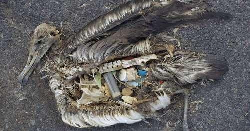 Les scientifiques savent enfin pourquoi les oiseaux marins ingèrent les déchets plastiques
