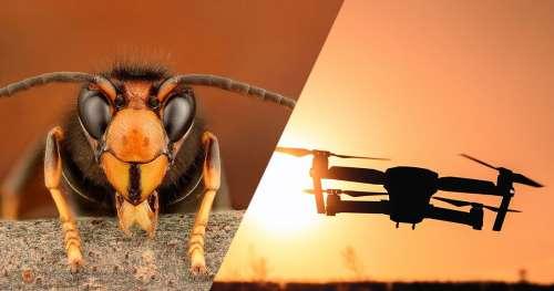 Sur l'île de Jersey, des frelons asiatiques n'ont pas hésité à attaquer un drone venu les déloger
