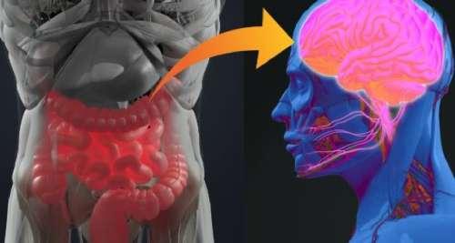 Une connexion entre les intestins et le cerveau qui influencerait la progression de la sclérose en plaque et autres maladies neuro-dégénératives