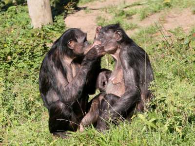 Medical News Today: Why do female bonobos have more sex with each other than with males?