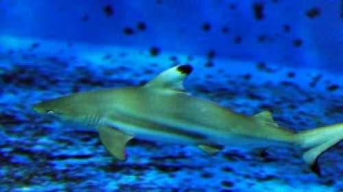 Trois requins sont nés à l'Aquarium de Lyon