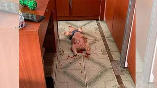 Le propriétaire trouve un chiot couché sur le sol couvert de substance rouge, il s'avère qu'il s'est gavé de fruits du dragon
