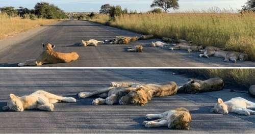 Des photos montrent des lions paresser sur des routes désertes et faire une sieste pendant le confinement en Afrique du Sud