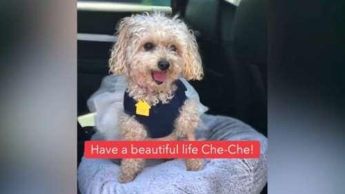 Un chien qui a perdu son maitre à cause du coronavirus retrouve un foyer: Aie une belle vie Che-Che!