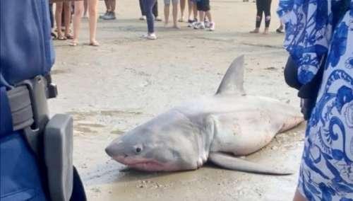 Un requin blanc est brutalement hissé sur la plage – puis un gang inconnu s'avance et lui donne un coup de pied à la tête