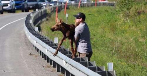 Un homme aide un petit élan à franchir la rambarde de l'autoroute pour le réunir avec sa mère