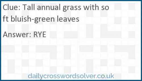 Tall annual grass with soft bluish-green leaves crossword answer
