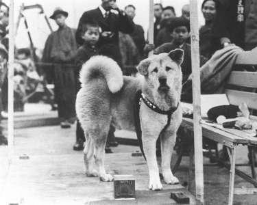 L'histoire touchante d'Hachiko, le chien qui a attendu son défunt maître pendant 9 ans