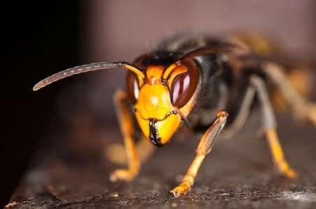 Vous pourrez bientôt acheter un piège à frelon asiatique pour sauver les abeilles près de chez vous