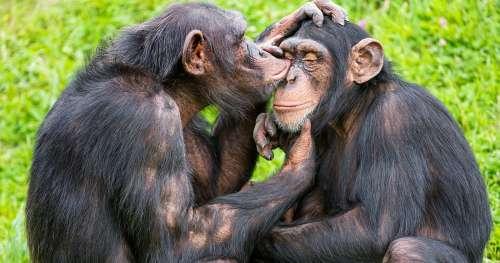 Découverte : la communication des chimpanzés suit les mêmes règles que le langage humain