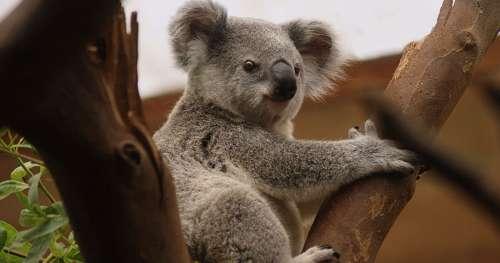 Le saviez-vous ? Plus de 80 % des animaux en Australie n'existent nulle part ailleurs