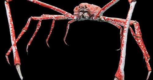 Le saviez-vous ? Le plus grand arthropode du monde peut atteindre 3,5 mètres d'envergure