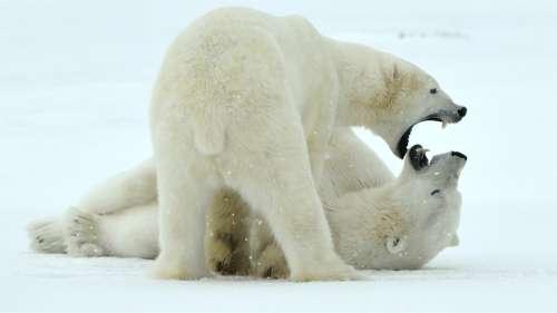 Cannibalisme : les ours polaires contraints de s'entre-dévorer pour survivre en Russie