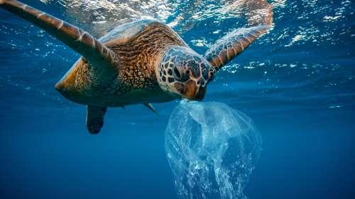 On sait enfin pourquoi les tortues marines adorent manger du plastique : à cause de leur odeur