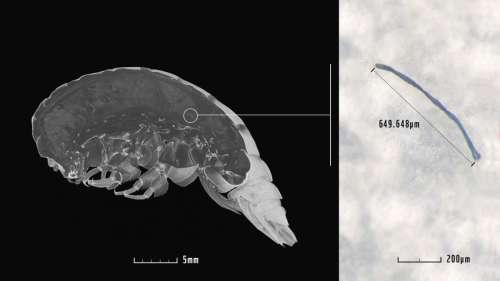 Cette nouvelle espèce découverte dans les profondeurs de l'océan a du plastique dans le corps