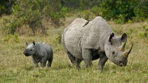 Les rhinocéros s'allient avec des oiseaux afin d'éviter les braconniers