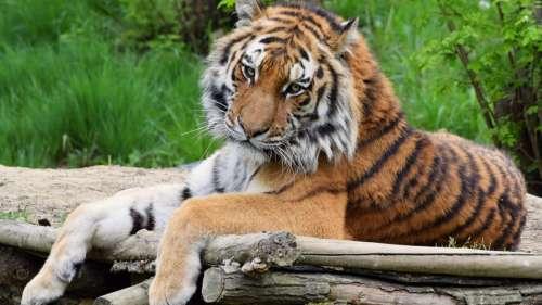 Une tigresse d'un zoo de New York testée positive au Covid-19