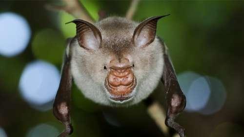 Découverte de quatre nouvelles espèces de chauves-souris qui pourraient être liées au Covid-19