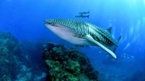 Il est possible d'estimer l'âge des requins-baleines grâce aux essais nucléaires de la guerre froide