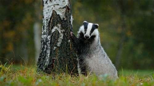 La chasse aux blaireaux reprend de plus belle : elle indigne les Français et même les députés