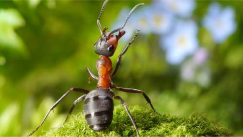 Ces fourmis stockent leurs souvenirs à court et long termes dans des parties distinctes du cerveau
