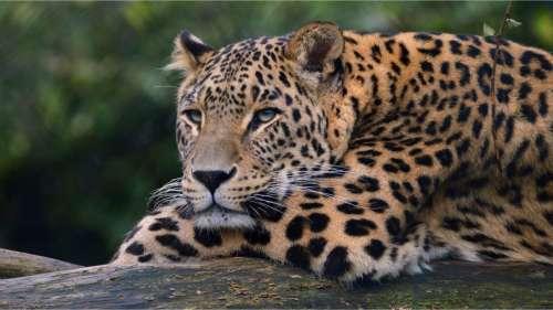 Les jaguars plus que jamais menacés par le mur de Trump