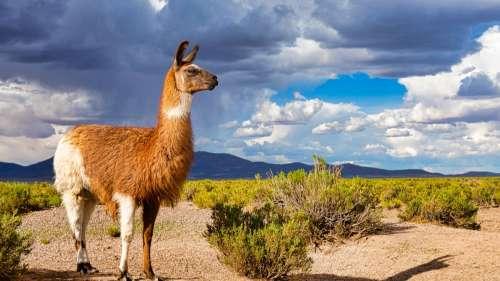 Face au Covid-19, les anticorps des lamas pourraient être la clé