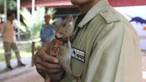 Ce rat détecteur de mines vient d'être décoré de la prestigieuse médaille d'or du PDSA