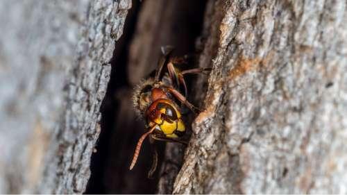 Un nid de frelons meurtriers détruit pour la première fois aux États-Unis