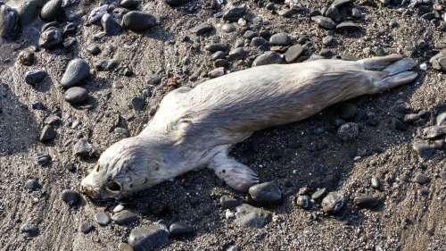 272 phoques ont été retrouvés morts au bord de la mer Caspienne