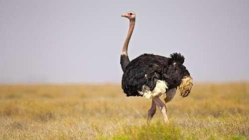 Le saviez-vous ? Parmi tous les oiseaux, seuls les autruches et les nandous ont une vessie