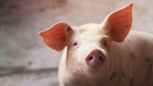 Des scientifiques ont entrainé des cochons à jouer à un jeu vidéo avec un joystick