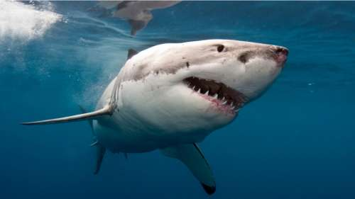 Les requins blancs forcés de changer d'habitat à cause du réchauffement climatique