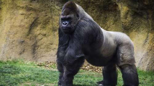 Le saviez-vous ? En 1986, un gorille a protégé un enfant tombé dans son enclos de ses congénères
