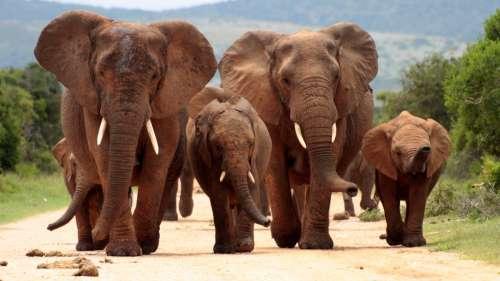 Un braconnier retrouvé mort piétiné par un troupeau d'éléphants en Afrique du Sud