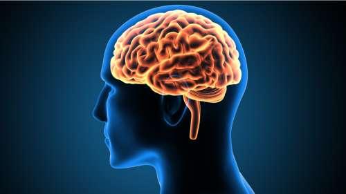 Le saviez-vous ? Au cours des 35 000 dernières années, notre cerveau a rétréci de plus de 10 %
