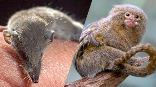 Petits mais sournois : voici les 10 plus petits mammifères du monde