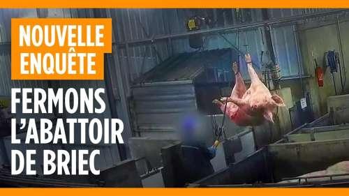 L214 dévoile des images insoutenables d'un abattoir qui fait subir les pires horreurs à des cochons