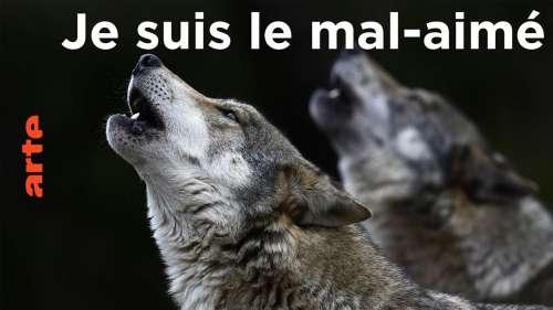 Le loup, un animal mal-aimé