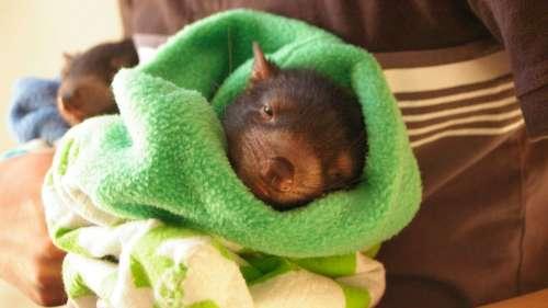 Naissance des premiers bébés diables de Tasmanie sauvages en Australie continentale depuis 3 000 ans
