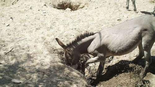 Les chevaux et les ânes sauvages creusent des puits dans le désert qui stimulent la biodiversité