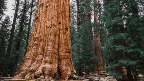 Le saviez-vous ? L'arbre le plus grand au monde est plus haut que la statue de la Liberté