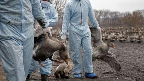 Une épidémie de grippe aviaire hautement pathogène signalée dans 46 pays