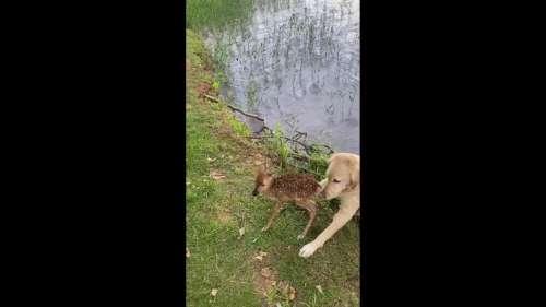Ce chien sauve un faon de la noyade et prend soin de lui en attendant le retour de sa mère