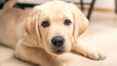 Les chiens naissent avec la capacité génétique de comprendre les humains