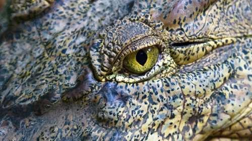 Des scientifiques découvrent une espèce préhistorique de crocodile géant en Australie