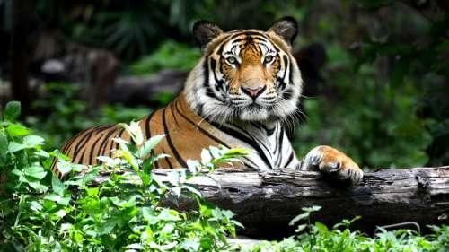 Un célèbre braconnier ayant tué près de 70 tigres arrêté après 20 ans de méfaits