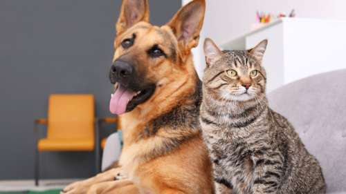 Covid-19 : le taux de contamination des chats et des chiens par leurs propriétaires est extrêmement élevé