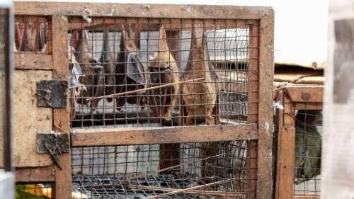 Les animaux sauvages vendus sont porteurs de 75 % des maladies que l'Homme peut attraper