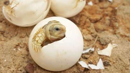 Découverte d'un œuf de tortue fossilisé datant du Crétacé contenant un embryon
